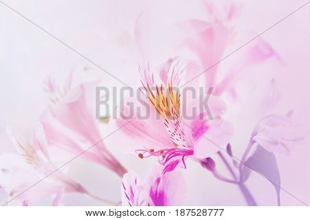 Pink And White Tender Flowers.