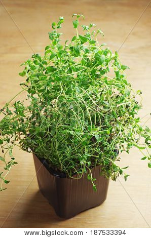 Thyme herb in a pot on a wooden table