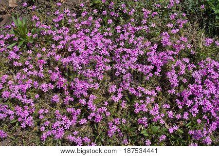 Flowering Cushion Of Phlox Subulata In Spring