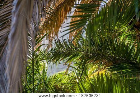 Palm branches at sunset contrast light and blurry background. Tropic mood photo, Masca village, Tenerife island, Spain.