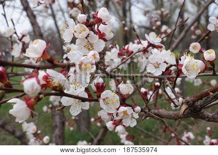 Branches Of Prunus Armeniaca In Full Bloom