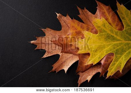 Three shades of autumn leaves arranged on a black background