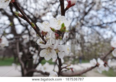 Bunch Of White Apricot Flowers In Spring