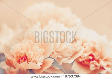 Peony flower background. Color toning applied. Nature background