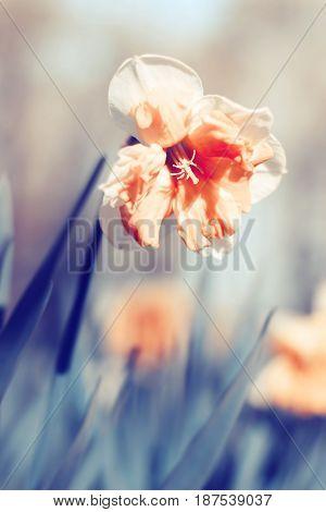 Orange Narcissus
