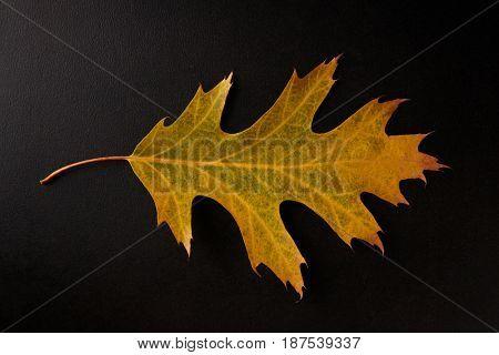Yellow Autumn leaf isolated on a black background, horizontal