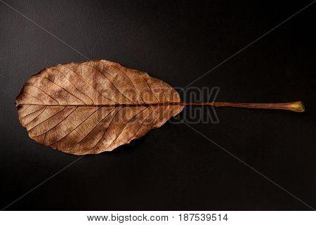 Underside of brown oval leaf on black background, horizontal