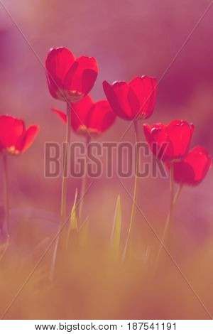 Red tulips with nice toning and soft focus
