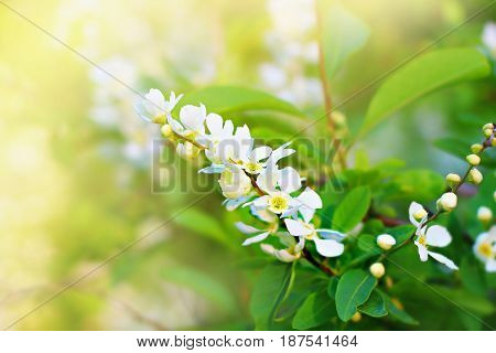 Cherry tree blossoming with white flowers. Nature green colors. Springtime fresh beauty.
