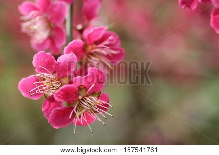 The Beautiful Flower Heads of the Prunus Mume Plant.