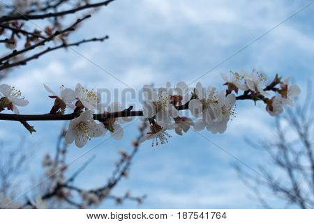 Horizontal Branch Of Apricot Covered With White Flowers