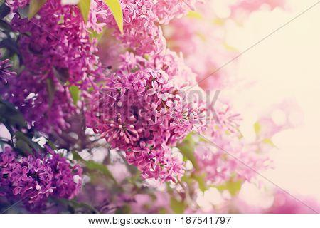 Blossom Of Lilac Flowers.