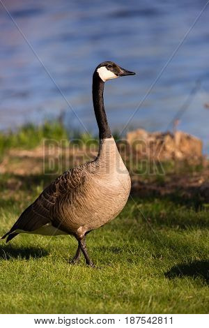 Canada Goose (branta canadensis) walking on a Wisconsin Lake front in spring