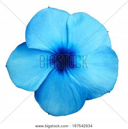 Flower blue violets. White isolated background with clipping path. Closeup. no shadows. Nature.