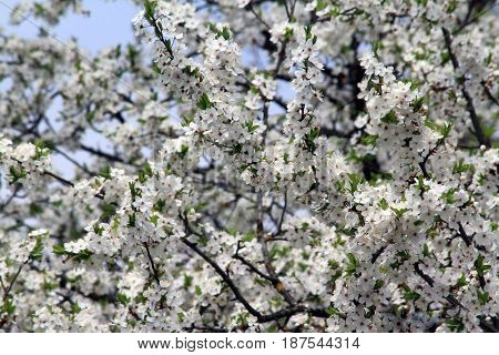 white plum tree blossoms in the spring time