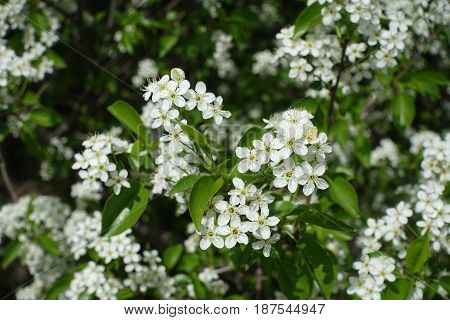 Close Up Of Small White Flowers Of Hagberry
