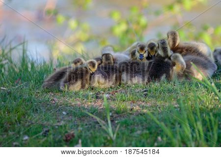 Tight gaggle of Canada goose (branta canadensis) goslings huddled together to stay warm as they get ready for a nap