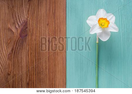 One white daffodil on a wooden background. Template of greeting card invitation. The flower on a wooden background of two colors is brown and turquoise. Beautiful spring background.