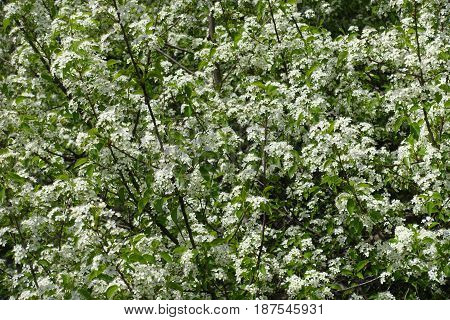 A Bird Cherry Tree In Full Bloom In Spring