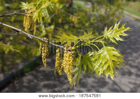 New Leafage And Aments Of Champion Oak
