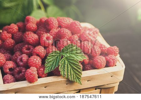 Basket full of raspberries closeup at raspberry bush with green leaves background. Summer harvest of berries