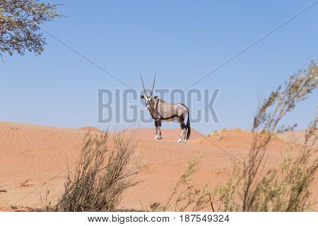 Oryx looking at camera in the colorful Namib desert of the majestic Namib Naukluft National Park best travel destination in Namibia Africa.