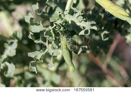 Blossom of the yellow hornpoppy (Glaucium flavum)