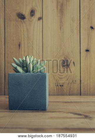 Jelly bean plant on table (sedum rubrotinctum)