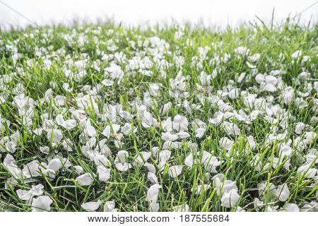 Spring background. White tender orchard petals cover green grass.