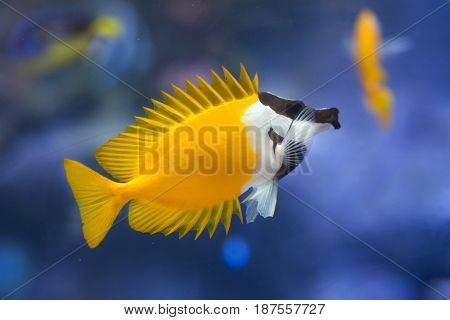 Foxface rabbitfish (Siganus vulpinus). Tropical fish.