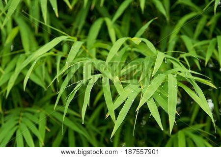 Beautiful bamboo leaves with raindrops. Nature background.