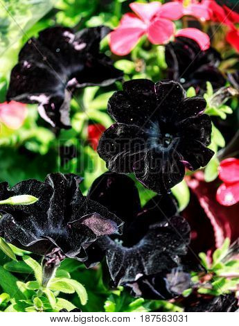 Close up of black flowering petunia (Solanaceae) hybrid