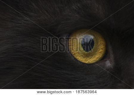 yellow eye black cat close up looks into the lens