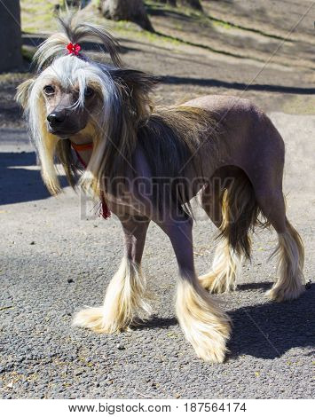 Chinese Crested dog . dogs . pet