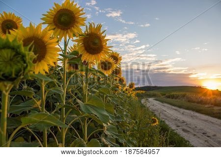 sunflowers at sunset and off-road road in summer