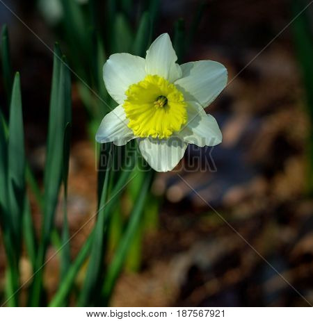Jonquil Blooming at Arkansas State Park in the Spring