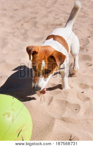 Dog Jack Russell playing with a yellow ball on the sea