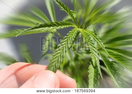 Marijuana Plant Close Up With Hand Touching Leaf Zoom Burst High Quality