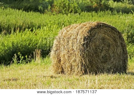 Field with a haystack. The stack on the background of green trees. Around the stack of mown dry grass.