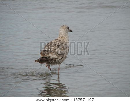 Spotted seagull wading in to the water at the ocean's edge.