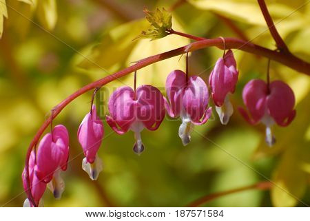 Blooming dangling pink bleeding heart flower blossoms.