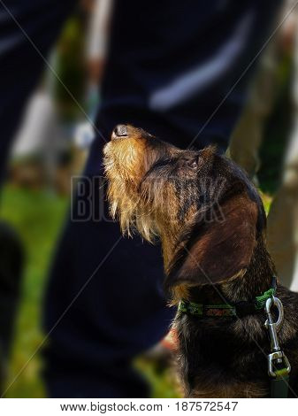 Wirehaired dachshund puppy. Wildboar doxie. Nature. Animas. Dogs.
