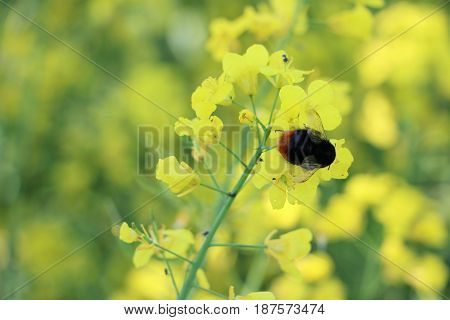 Big bee pollinated canola.Close up flower on the field with insect