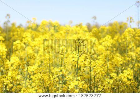 Canola field sky background. Beautiful yellow flower on suuny day