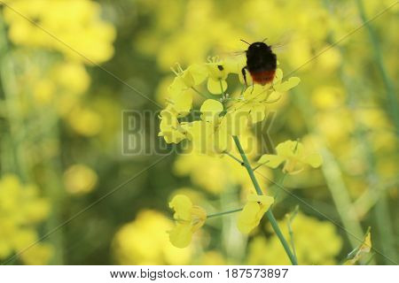 Canola flower and bee closeup. Pollinate a plant on the field of an insect