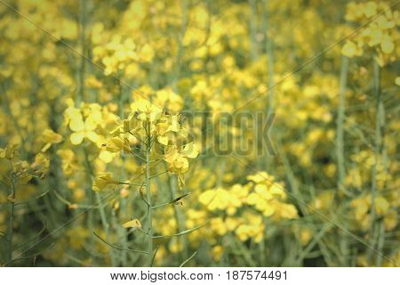 Growing canola field. Beautiful yellow flower on sunny day