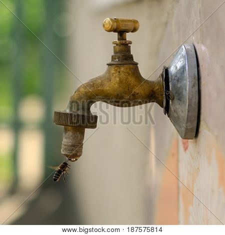 Bee drinking water from the tap. Animals and water