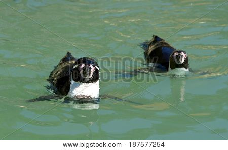 The Humboldt Penguins (Spheniscus humboldti) swimming in the water.