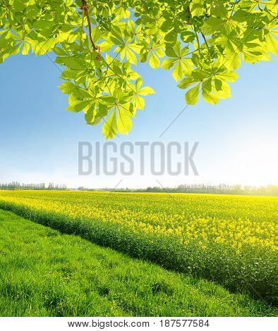 Spring landscape with rapeseed field and branch of chestnut tree in sunny day.
