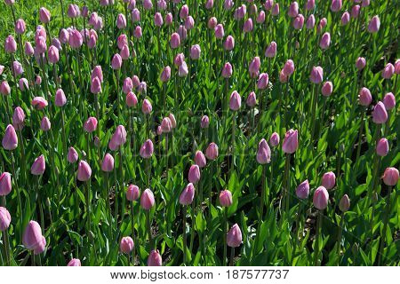Many beautiful pink tulips with green leaf in the city park garden of spring sunny day. Floral pattern.